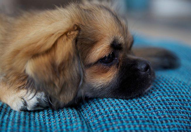 Kleiner Hund liegt auf Hundebett